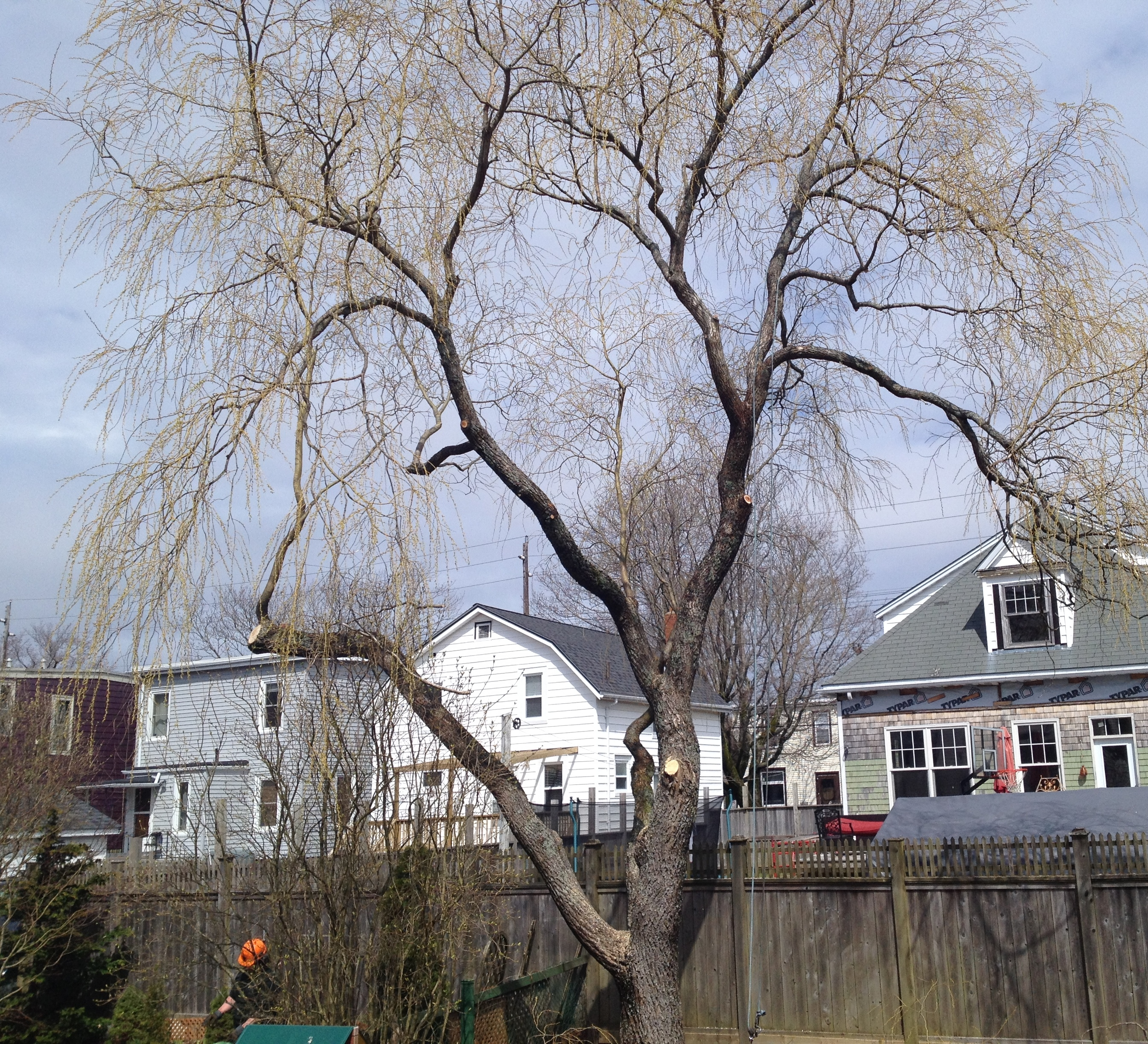 Weeping Willow After Tree Pruning